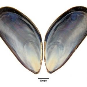 mussle shell